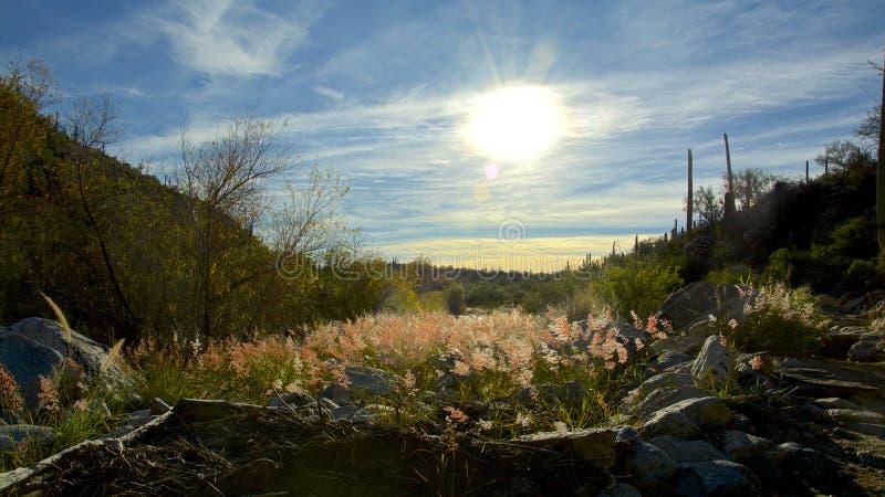 Flores de Arizona en la floración imagenes de archivo