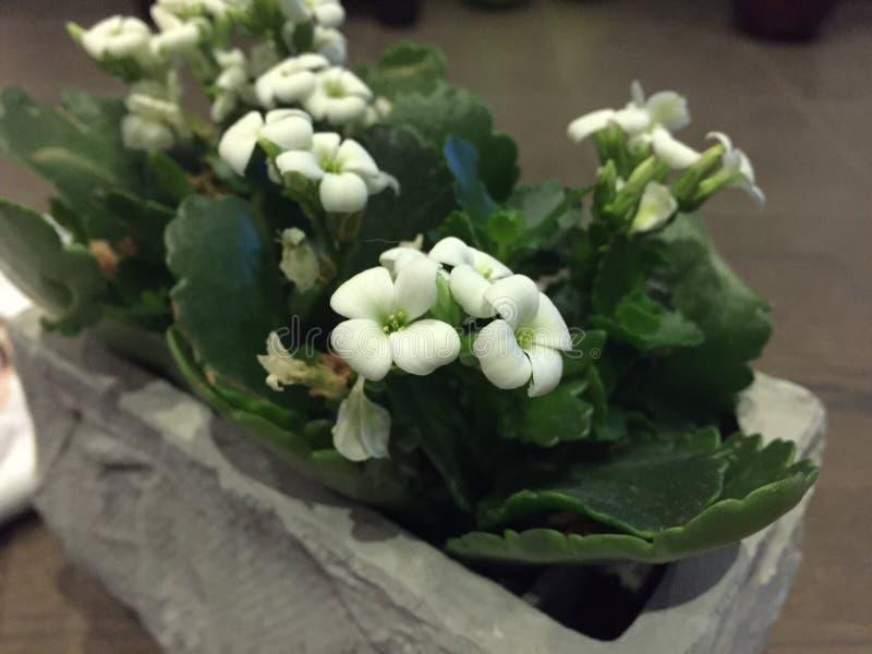 Flores de Bélgica imagem de stock royalty free