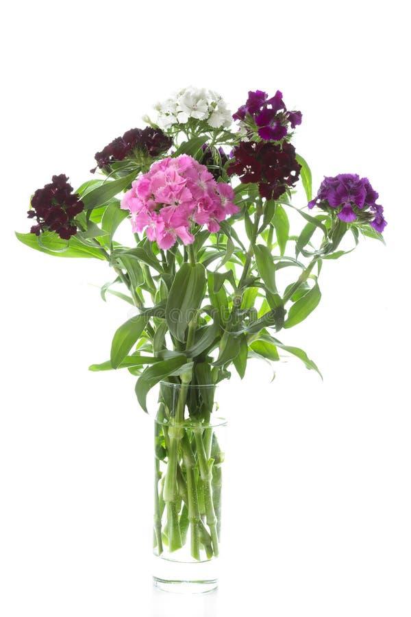 Flores de Barbatus del clavel en el fondo blanco foto de archivo libre de regalías