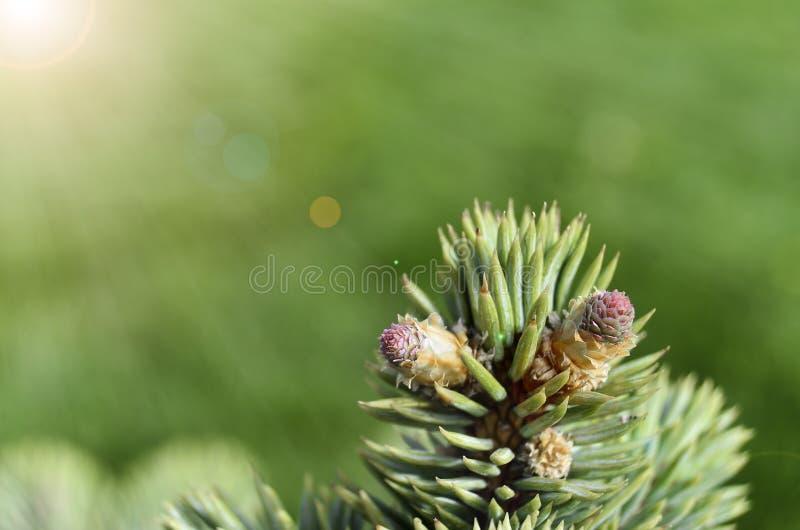 Flores de Blauwspar sob a luz do sol imagem de stock royalty free