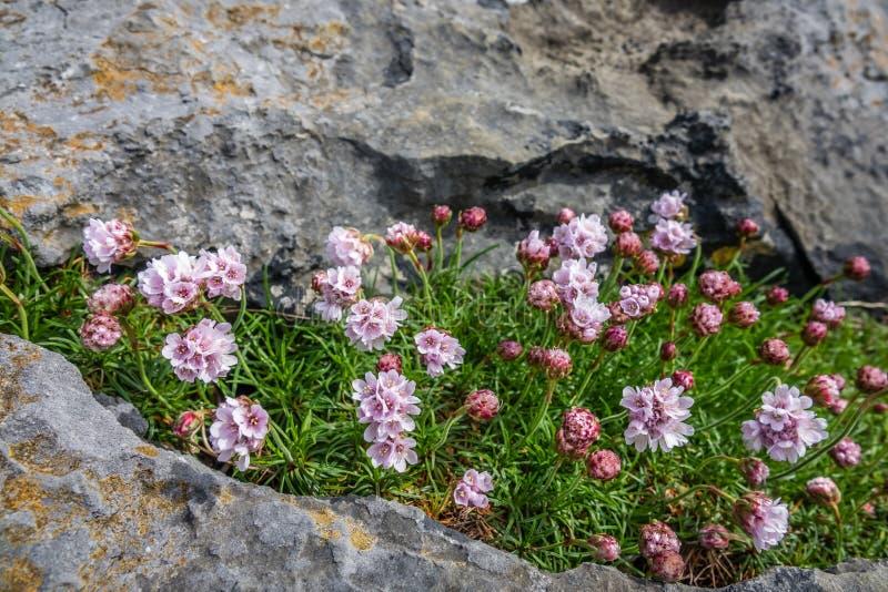 Flores de Burren imagens de stock