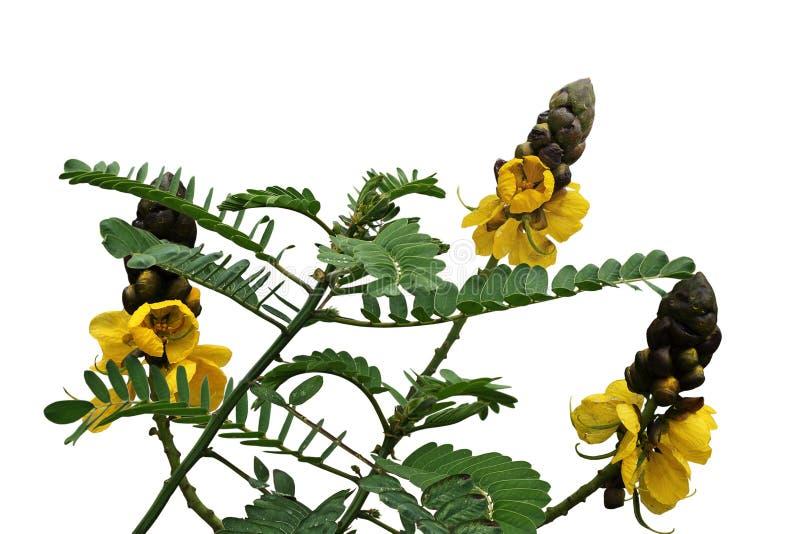 Flores de Bush de la vela fotografía de archivo libre de regalías