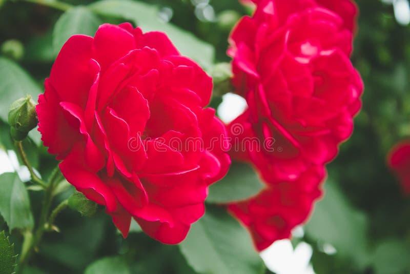 Flores de Bush de rosas vermelhas no jardim imagem de stock