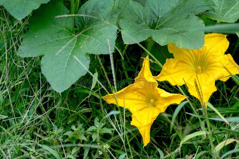 Flores de calabaza amarillas que atraen a las abejas imagen de archivo libre de regalías