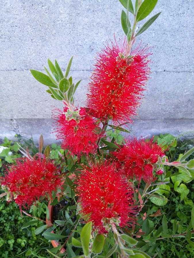 Flores de Callistemon imagens de stock royalty free