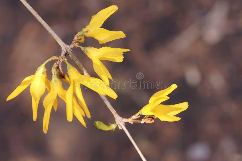 Flores de campana de oro imágenes de archivo libres de regalías