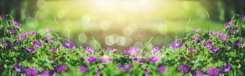 Flores de campanas violetas hermosas, verdes e iluminación en el jardín, fondo floral al aire libre del bokeh de la naturaleza de imagenes de archivo