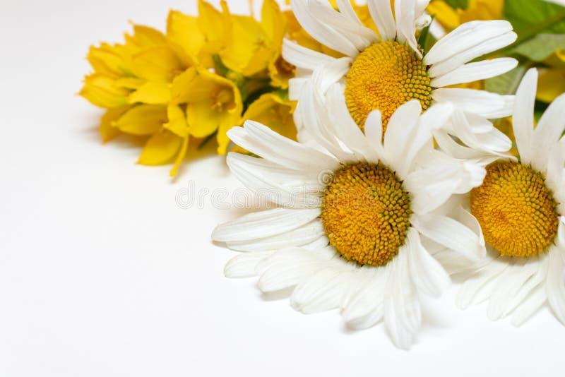 Flores de campo dos campos serrados Chamomile, Daisy e Lysimachia amarela em fundo branco com espaço em cópia fotos de stock royalty free
