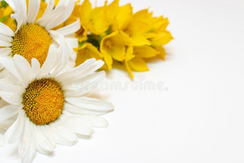 Flores de campo dos campos serrados Chamomile, Daisy e Lysimachia amarela em fundo branco com espaço em cópia imagens de stock royalty free