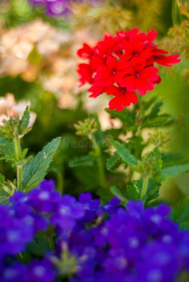 Flores de campo rojo, con una gran abertura imágenes de archivo libres de regalías