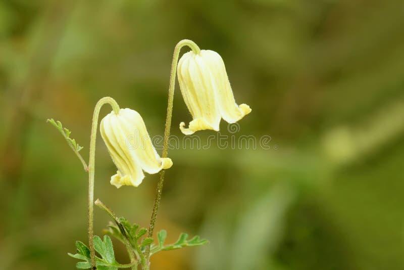 Flores de Canterburybells imagen de archivo