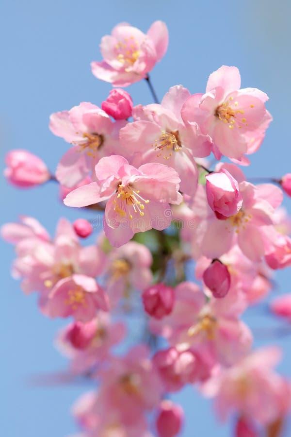 flores de Caranguejo-Apple fotos de stock royalty free