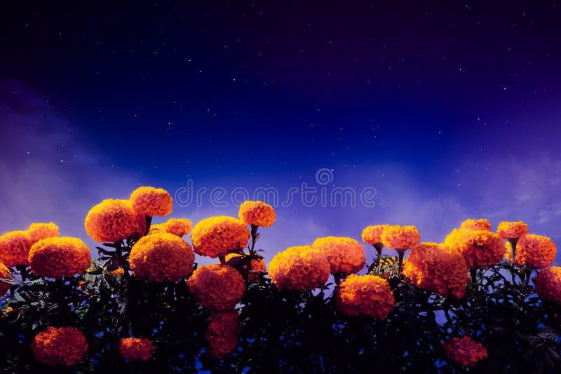 Flores de Cempasuchil usadas para el día de los altares muertos foto de archivo libre de regalías