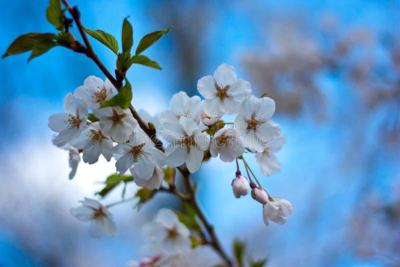 Flores de cereja (árvores), parque elevado Toronto de Sakura foto de stock royalty free