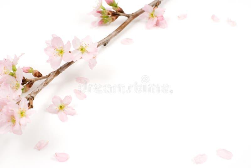 Flores de cereja fotos de stock
