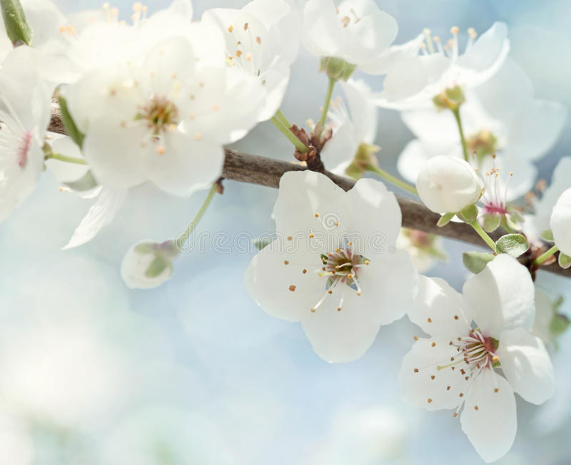 Flores de cereja fotografia de stock