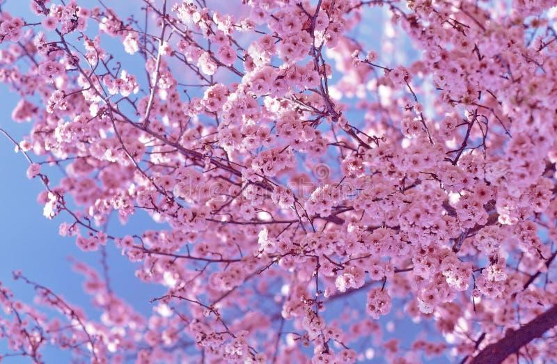 Flores de cereja foto de stock royalty free