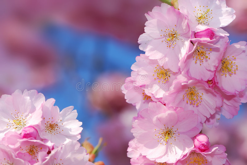 Flores de cereja imagem de stock royalty free