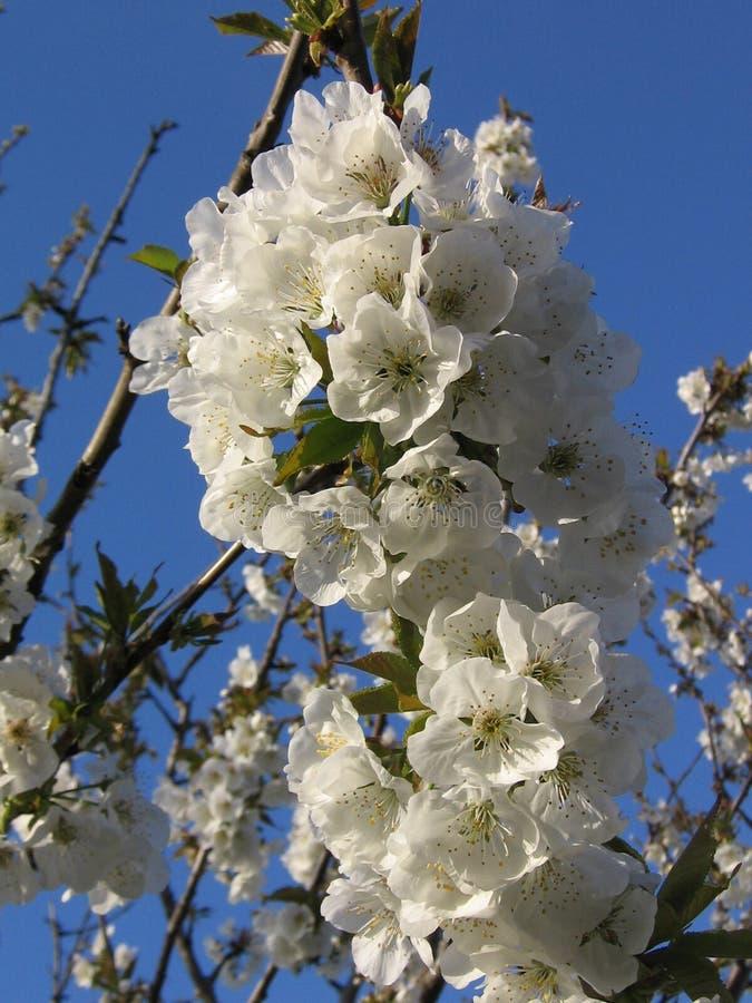 Flores de cereja brancas fotografia de stock
