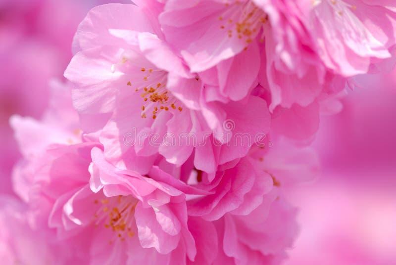 Flores de cereja da mola imagem de stock royalty free