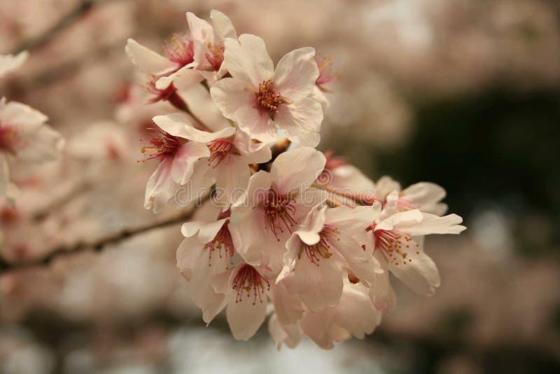 Flores de cereja em Japão fotografia de stock