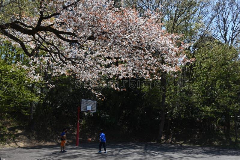 Flores de cereja na flor cheia foto de stock