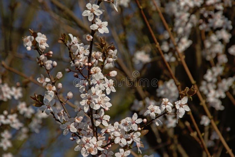 Flores de cerejeira brancas de florescência, foco seletivo - Prunus fotos de stock royalty free