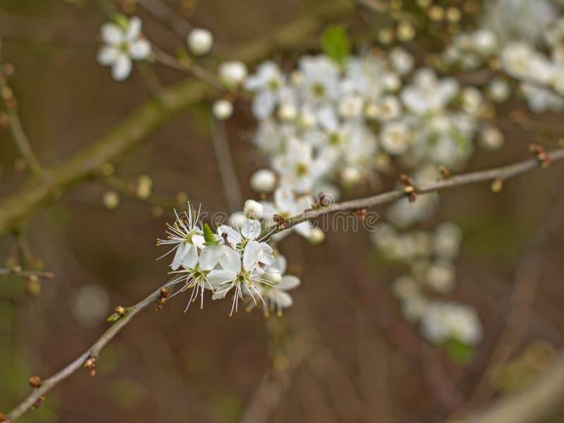 Flores de cerejeira brancas, foco seletivo - Prunus foto de stock royalty free