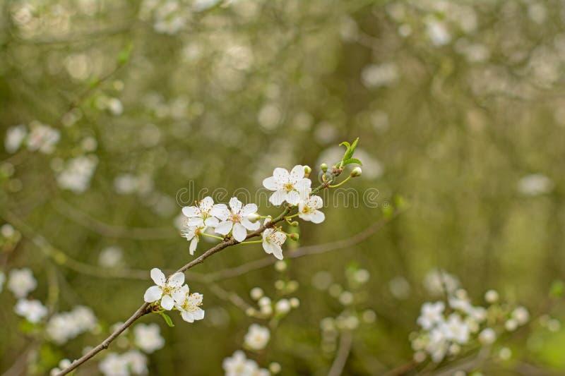 Flores de cerejeira brancas, Prunus do foco seletivo fotografia de stock royalty free