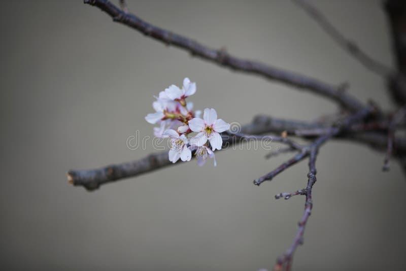 Flores de cerejeira cor-de-rosa Whitish na mola adiantada imagens de stock