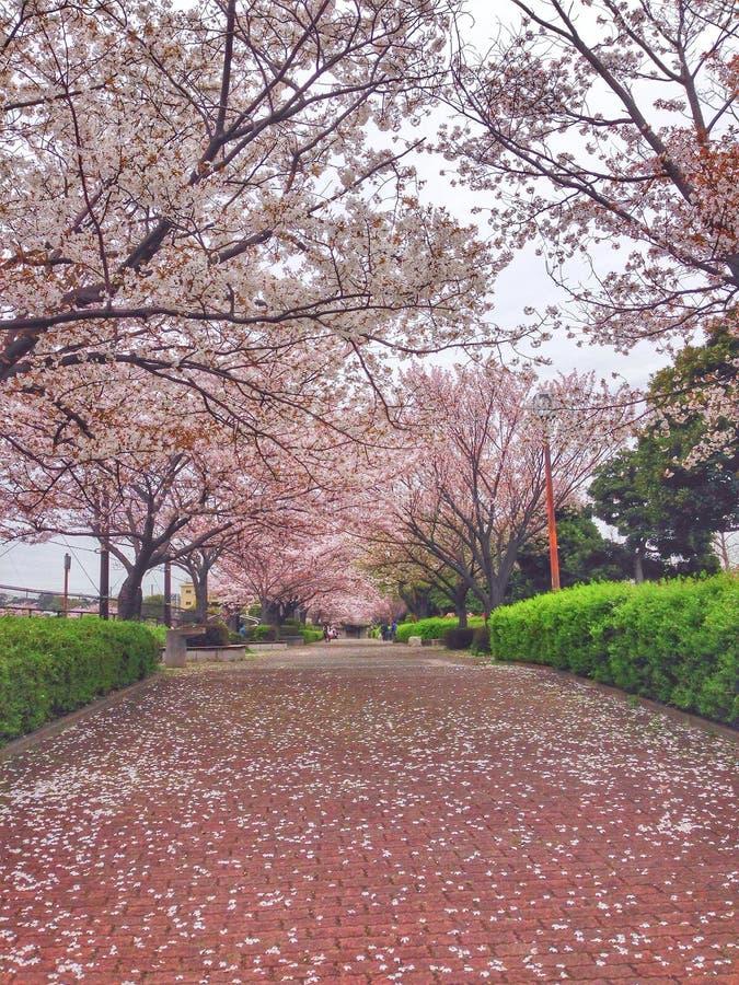 Flores de cerejeira de florescência em Yokohama, Japão imagem de stock royalty free