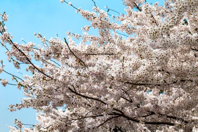 Flores de cerejeira de florescência no parque de Zhongshan na mola, Qingdao, China imagens de stock royalty free