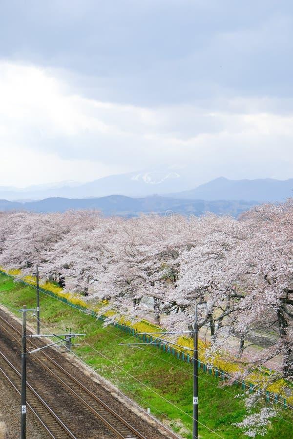 Flores de cerejeira e estradas de ferro em árvores de cereja de Hitome Senbonzakurathousand na vista no beira-rio de Shiroishi vi fotos de stock