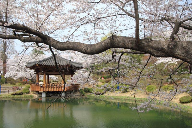 flores de cerejeira em Coreia imagens de stock royalty free