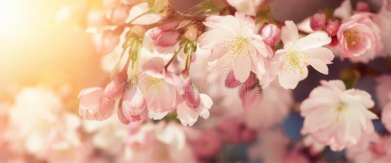 Flores de cerejeira em cores retro-denominadas fotografia de stock