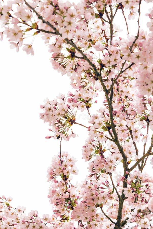 Flores de cerejeira em um fundo branco imagem de stock royalty free
