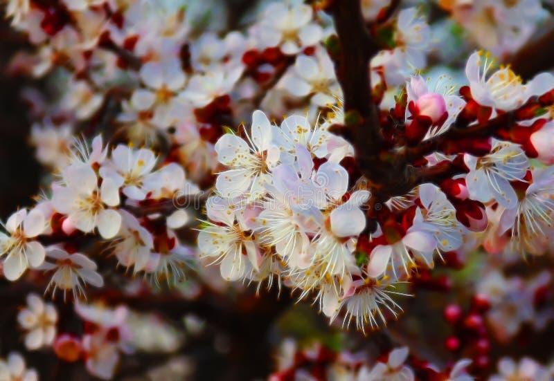 Flores de cerejeira, flores, mola, verão, perfume, árvores, beleza, vistas dramáticas, natureza, botão, suculento, colorido, inco imagem de stock royalty free