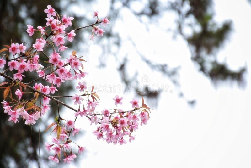 Flores de cerejeira Himalaias selvagens com espaço da cópia imagens de stock royalty free