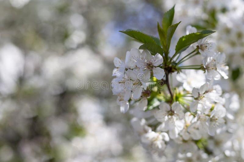 Flores de cerejeira na luz solar brilhante em um ramo imagens de stock royalty free