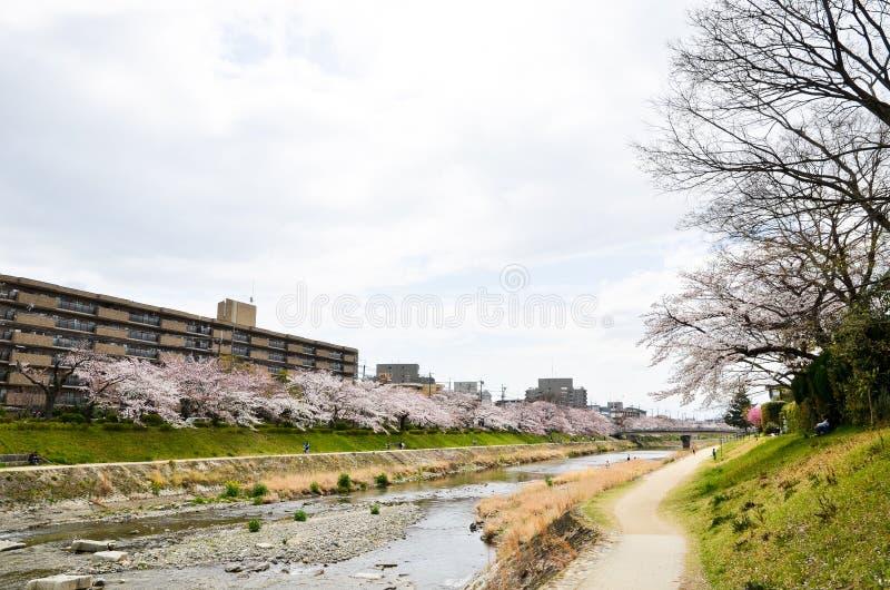 Flores de cerejeira no banco ao longo do rio de Takano, Kyoto, Japão imagens de stock