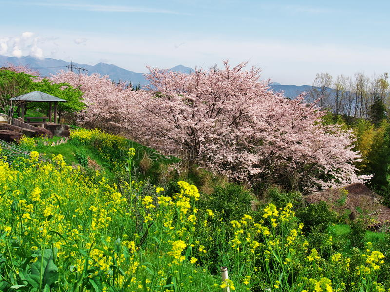 Flores de cerejeira no castelo de Ichiya das ruínas fotos de stock