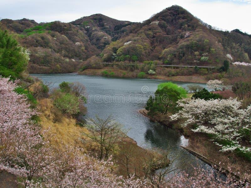 Flores de cerejeira no lago Matukawa imagem de stock royalty free
