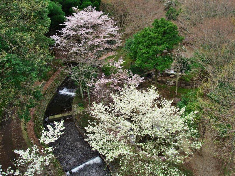 Flores de cerejeira no lago Matukawa fotos de stock