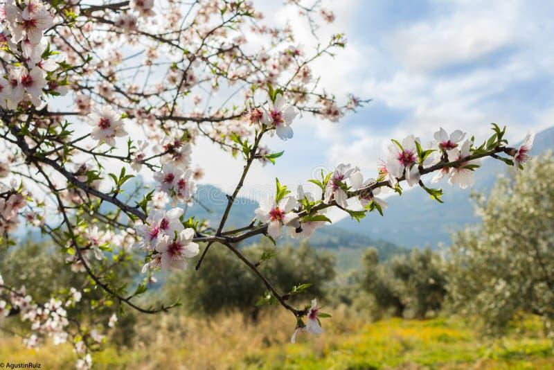 Flores de cerejeira o primeiro dia da mola fotografia de stock