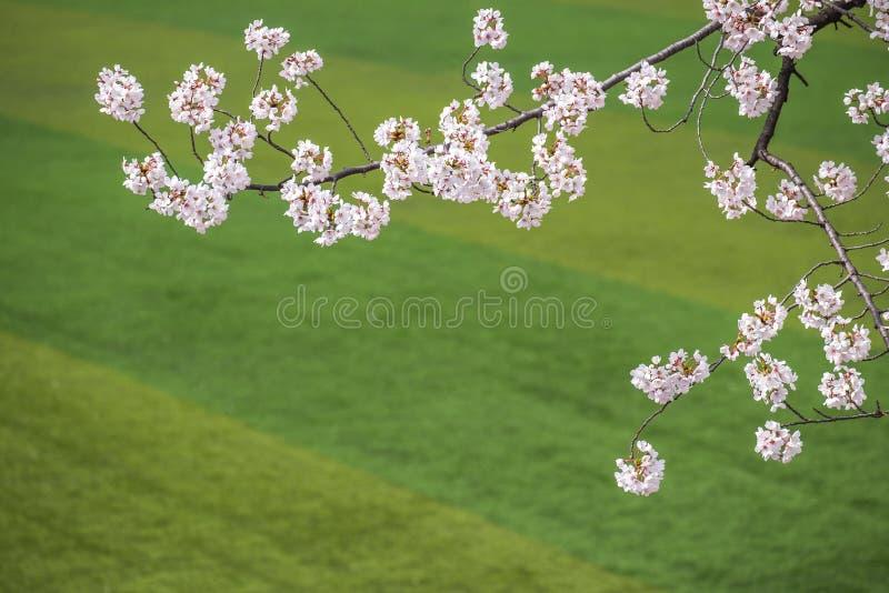 Flores de cerejeira que blossming na mola em seoul Coreia do Sul fotos de stock