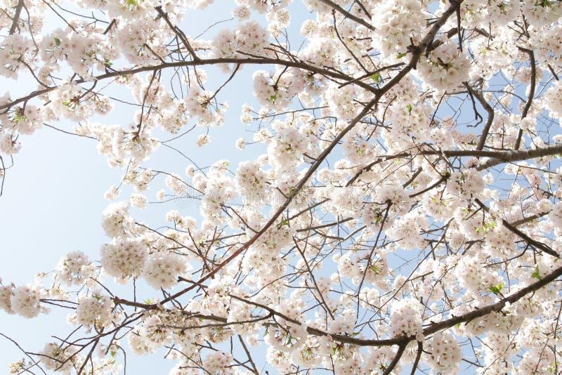 Flores De Cereza Fotos de archivo libres de regalías