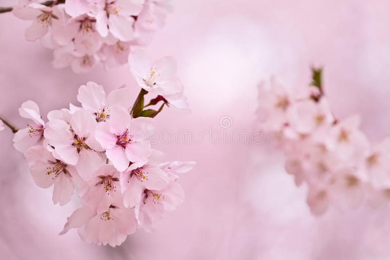 Flores de cereza. fotografía de archivo