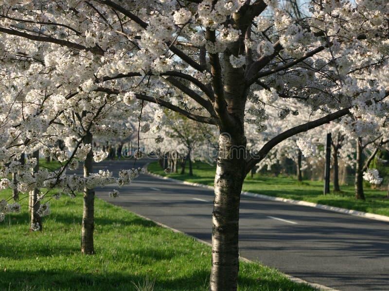 Flores de cereza foto de archivo libre de regalías
