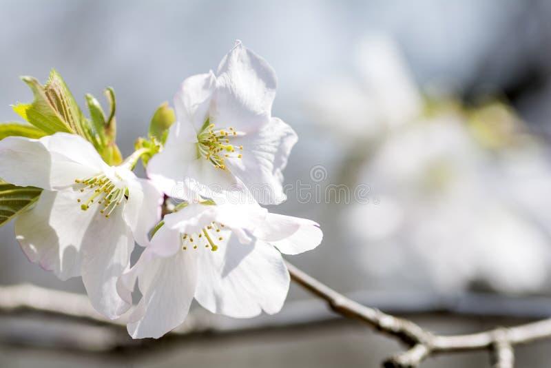 Download Flores de cereza blancos imagen de archivo. Imagen de cubo - 64203173