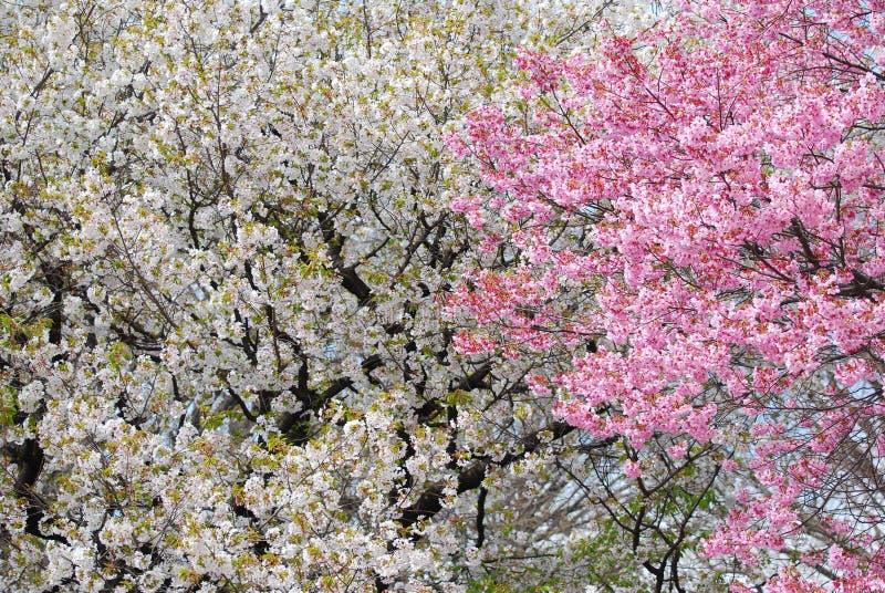 Flores de cereza blancos y rosados imagen de archivo